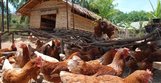 Six Senses Yao Noi pone en marcha una granja con 200 gallinas que suministran huevos orgánicos al establecimiento